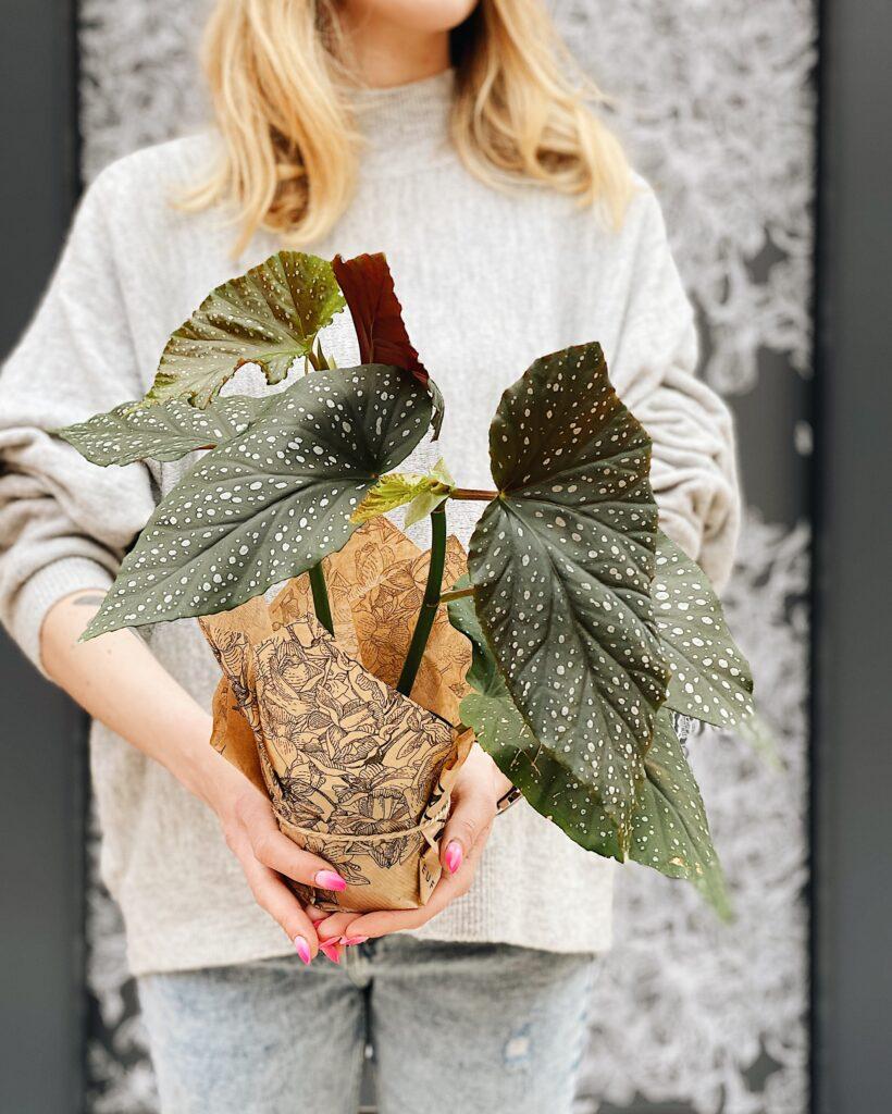 Begonia_lucerna