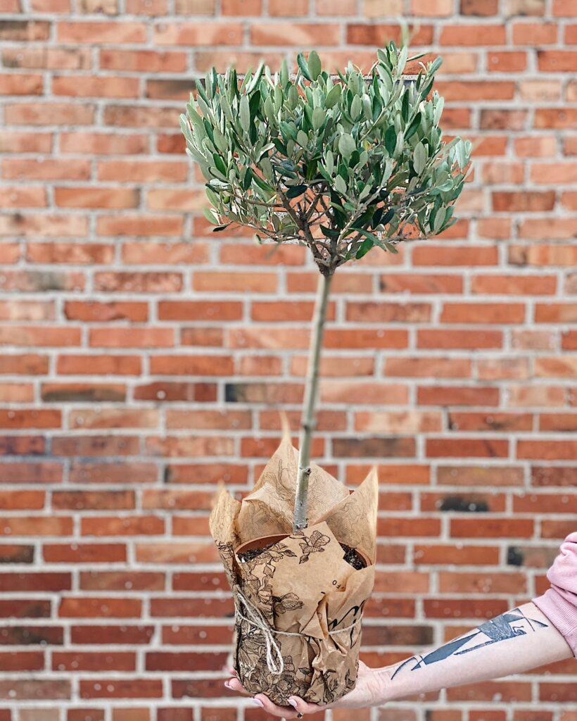 Drzewko_oliwne_80cm