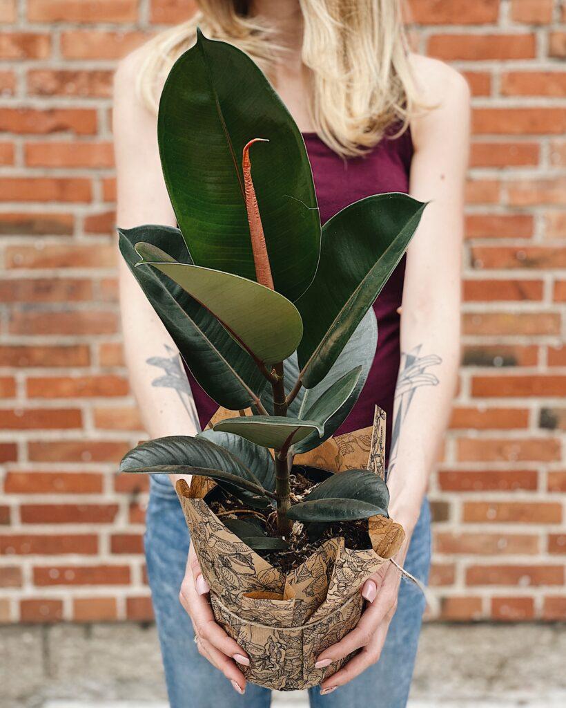 Ficus_elastica