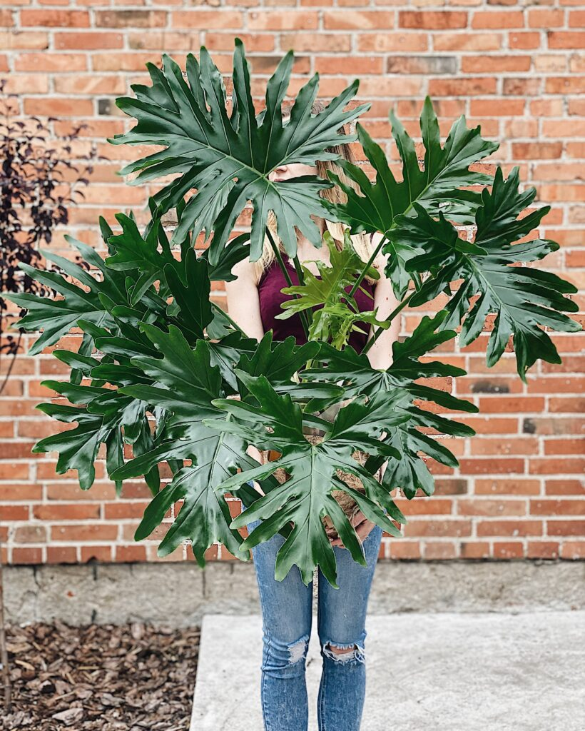 Philodendron_filodendron_selloum
