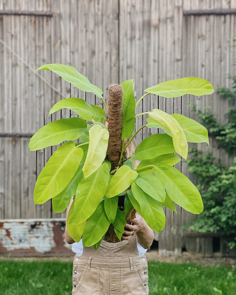 Philodendron_malay_gold