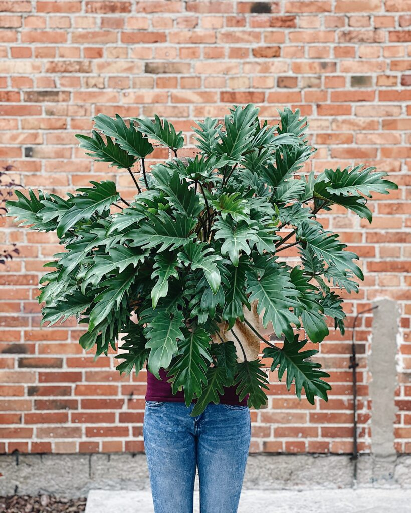 Philodendron_xanadu