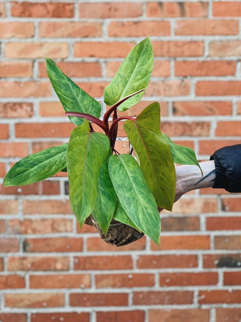 Philodendron_Painted_Lady