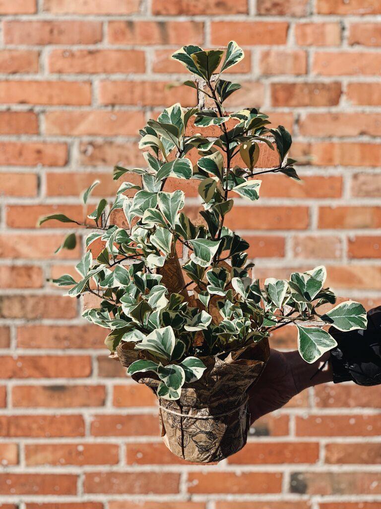 Ficus_Triangularis
