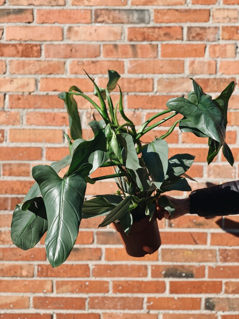 Philodendron_Hastatum