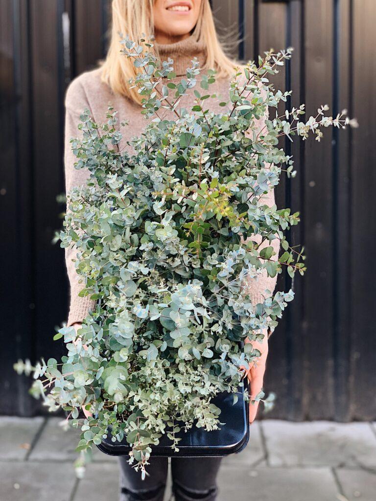 Eucalyptus_Gunni