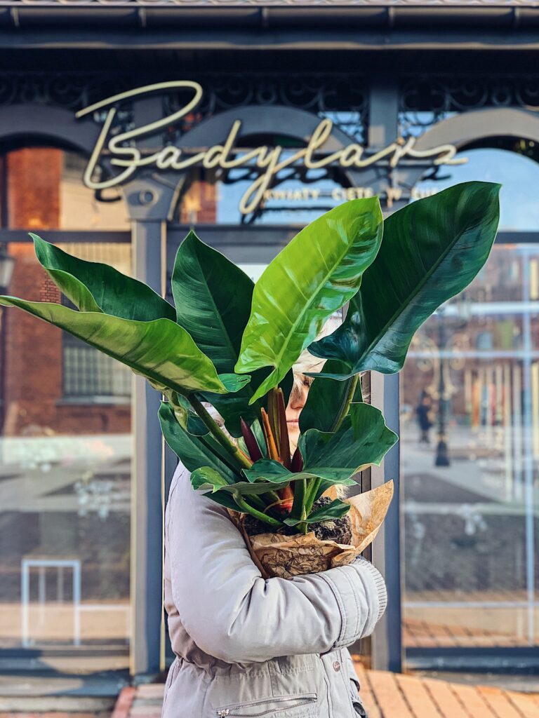 Philodendron_Imperial_Green